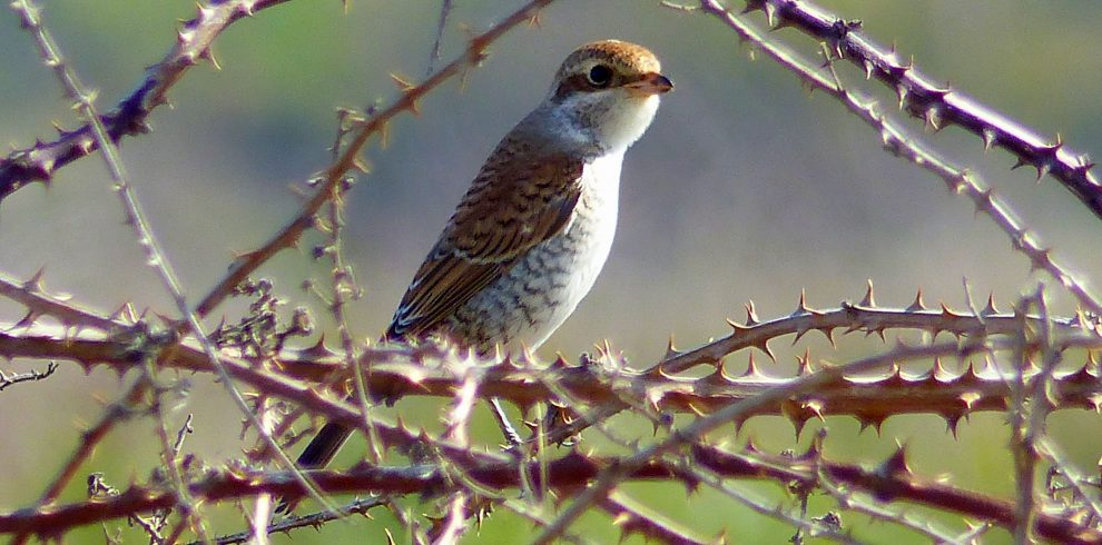 Red backed Shrike juvenile