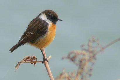 Stonechat Male Great Orme Wales