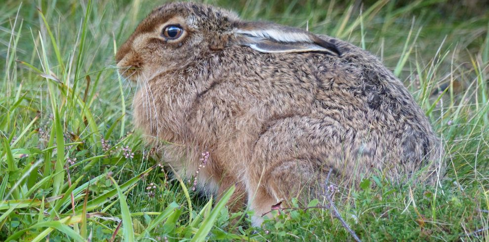 Brown Hare hunches in grass in Scotland