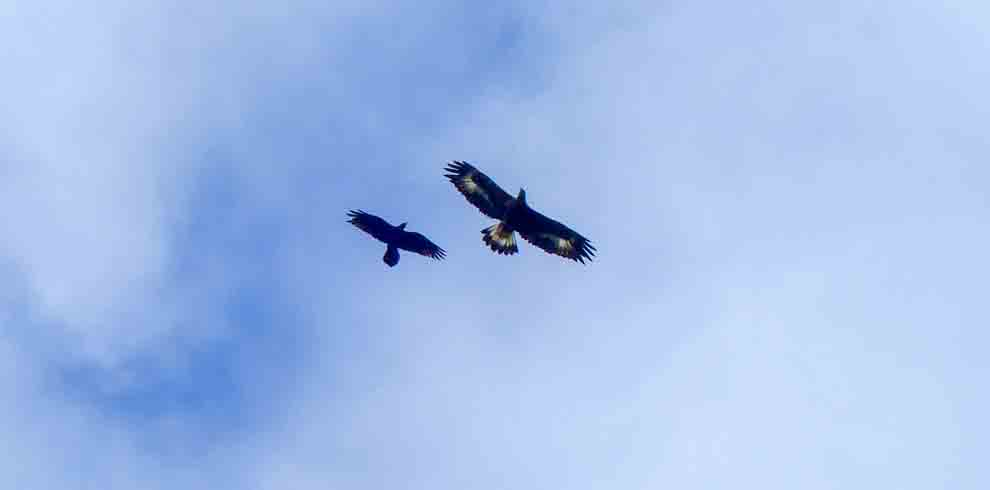 Immature Golden Eagle flying with Raven against blue sky in Scotland