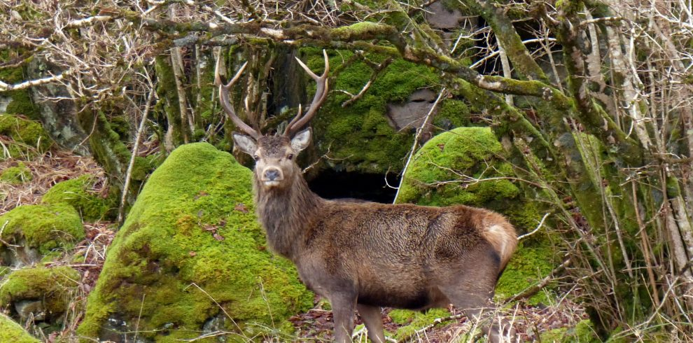 Red deer stag looking towards camera in Scotland