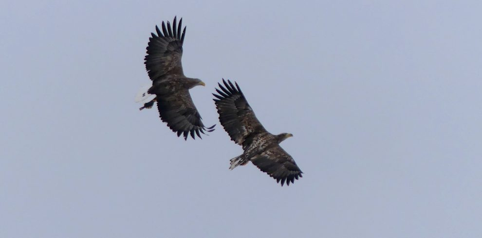 Two White tailed Eagles battle in the sky in Scotland