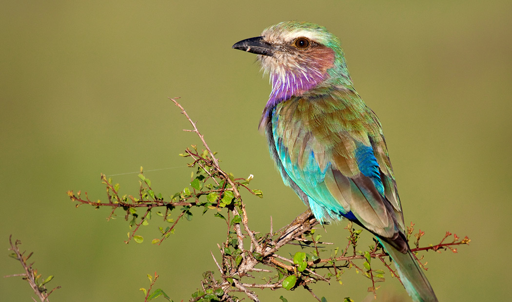 Lilac-breasted Roller South Africa