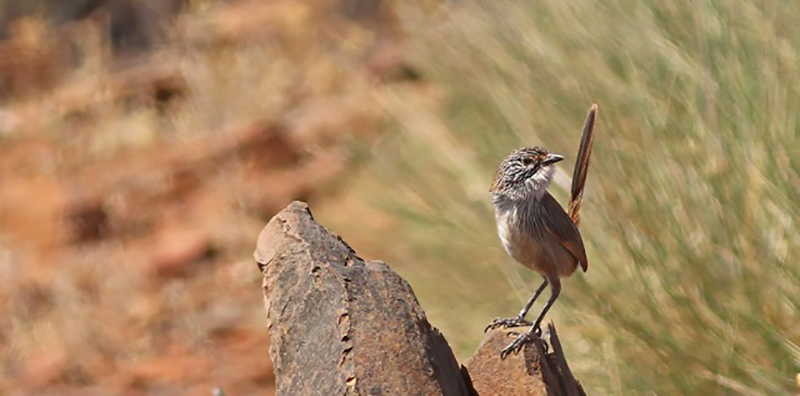 Short-tailed Grasswren in Australia