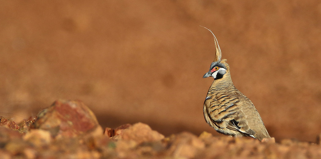 spinifex pigeon in Australia