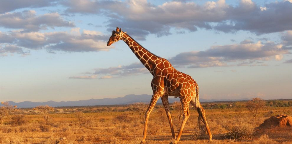 Reticulated Giraffe in Samburu National Reserve