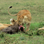 Lionesses eating