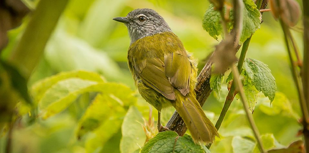Olive Breasted Mountain Greenbul Aberdares
