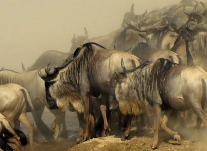 Wildebeest Migration Northern Kenya