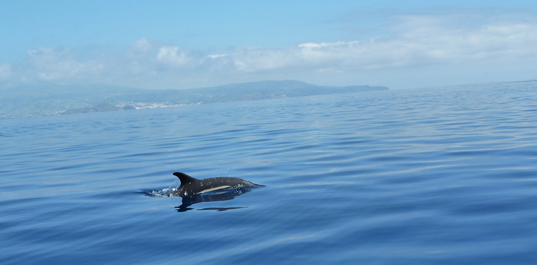 whale and dolphin watching in the azores