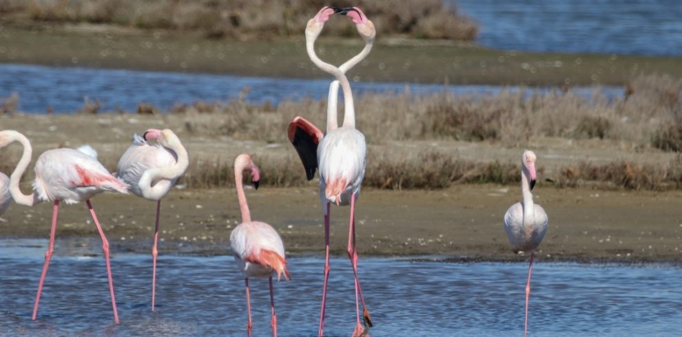 Greater Flamingos, Ebro Delta Birding