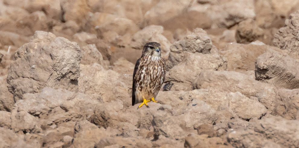 Merlin, winter b irding tour, Ebro Delta