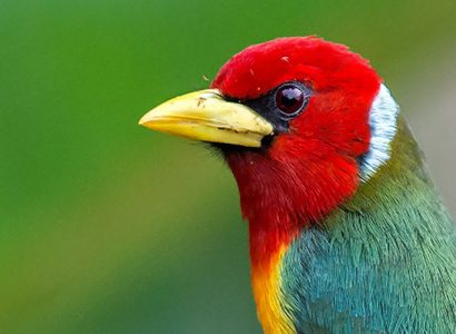Colombia Bird Watching Tour - Red-headed Barbet