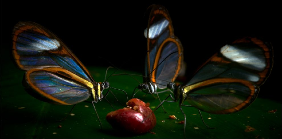 Rainforest Expeditions - Butterflies - Clearwings