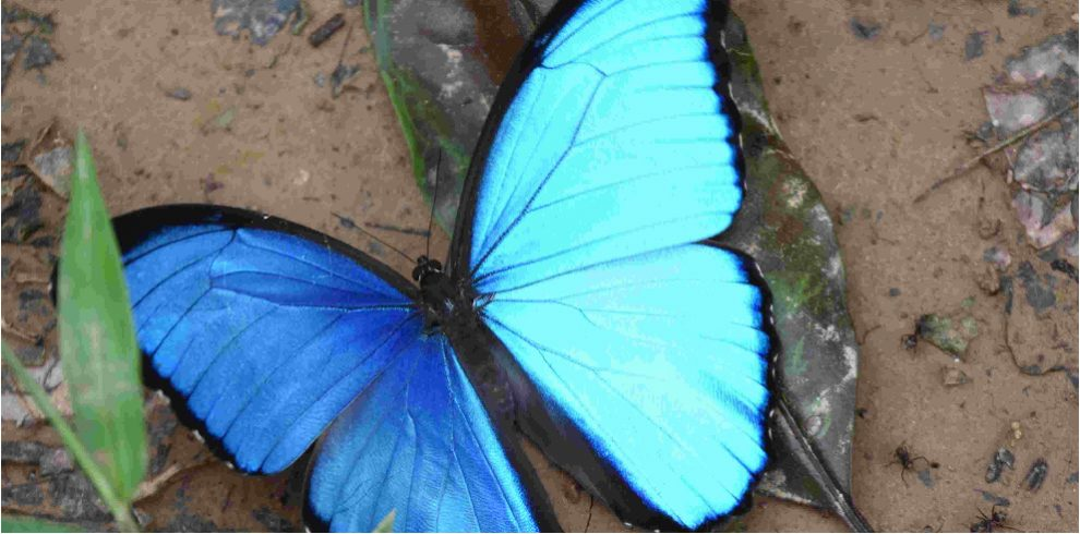 Rainforest Expeditions - Butterflies - Morpho