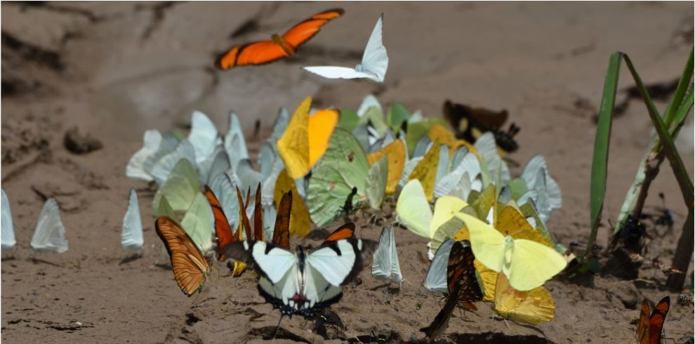 Rainforest Expeditions - Butterflies - On the riverbank