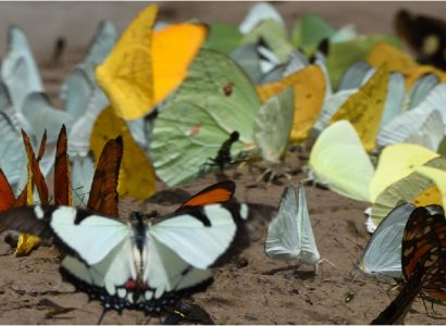 Rainforest Expeditions - Butterflies in the river
