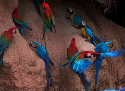 amazonian macaw - Rainforest Expeditions - Clay Lick