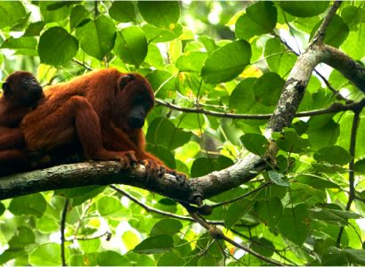 Wildlife Photography Tour - Rainforest Expeditions - Howler Monkeys
