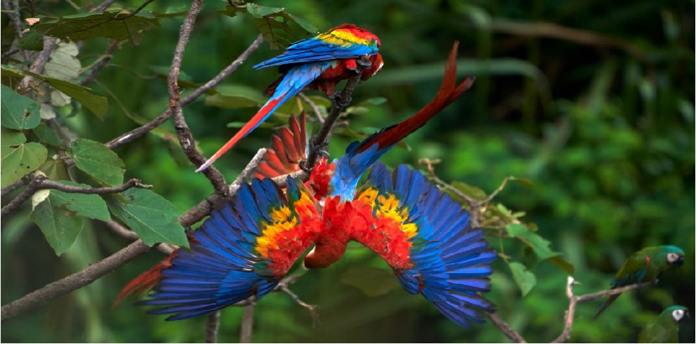 A pair of scarlet macaws