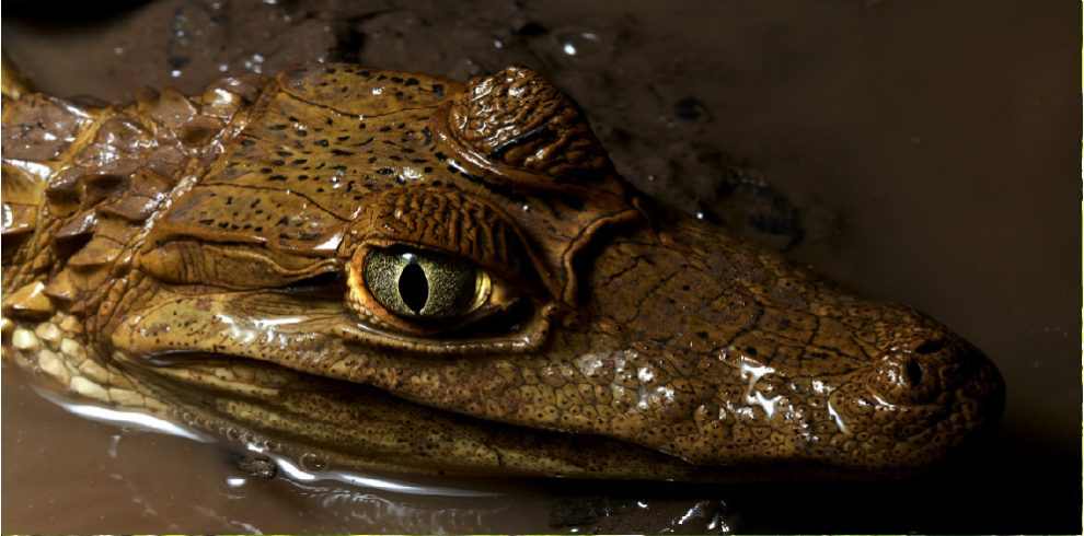 Rainforest Expeditions - Wildlife - Caiman