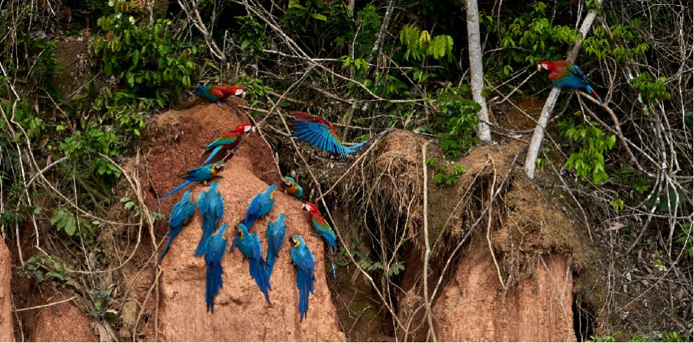 Rainforest Expeditions - Wildlife - Macaws on clay lick
