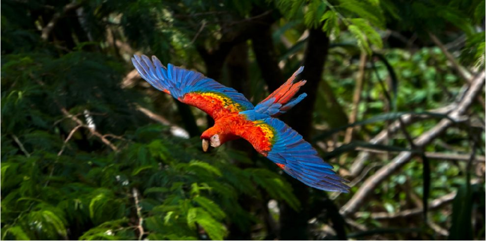 Rainforest Expeditions - Wildlife - Scarlet Macaw