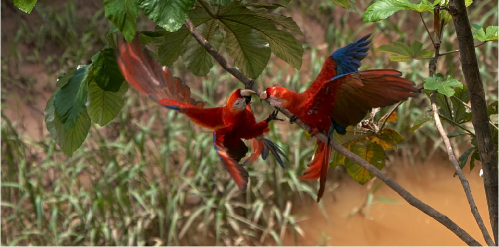 Rainforest Expeditions - Wildlife - Scarlet Macaws