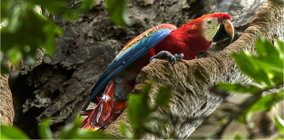 Rainforest Expeditions - Wildlife - Scarlet macaw on natural nest