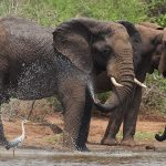 Elephants and Grey Heron