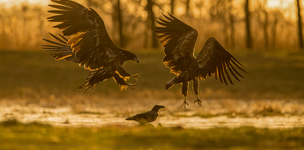 White-tailed Eagle in golden backlight at 4Eagles Meadow Hide in Western Lithuania