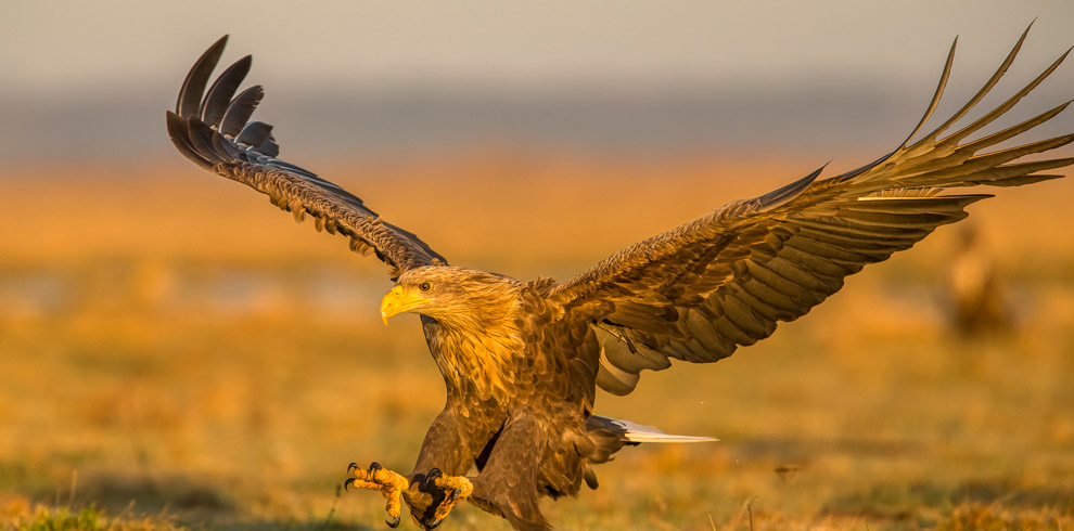 White-tailed Eagle in flight at 4Eagles Meadow Hide in Western Lithuania