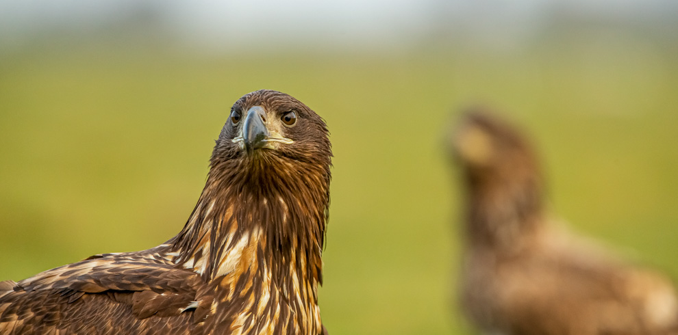 White-tailed Eagle portrait in close-up at 4Eagles Meadow Hide in Western Lithuania