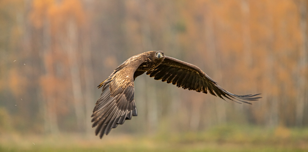 White-tailed Eagle in flight in a beautiful autumn day at 4Eagles Raptor Hide in Western Lithuania