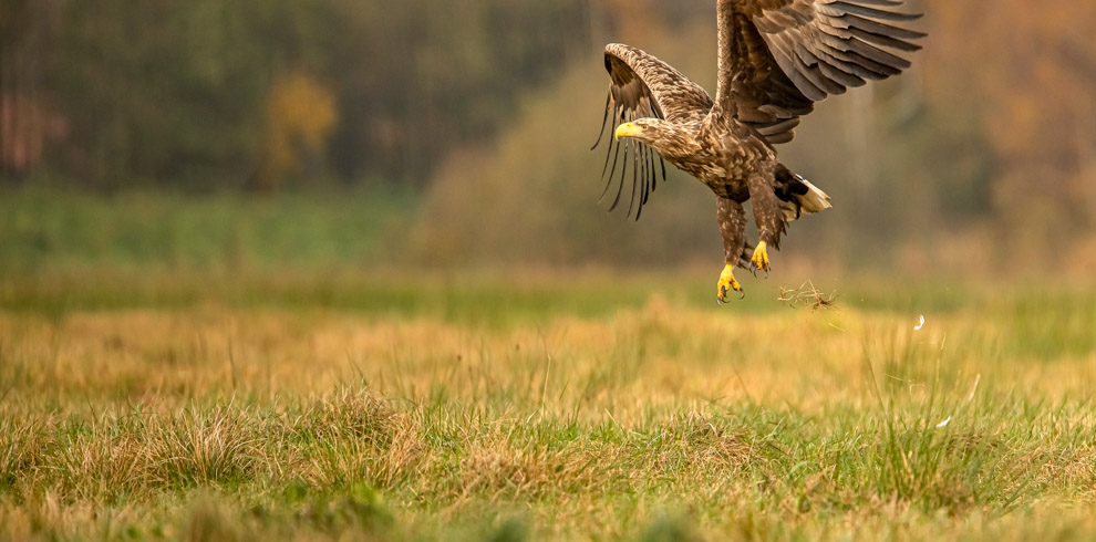 Adult White-tailed Eagle in beautiful autumn day at 4Eagles Raptor Hide in Western Lithuania