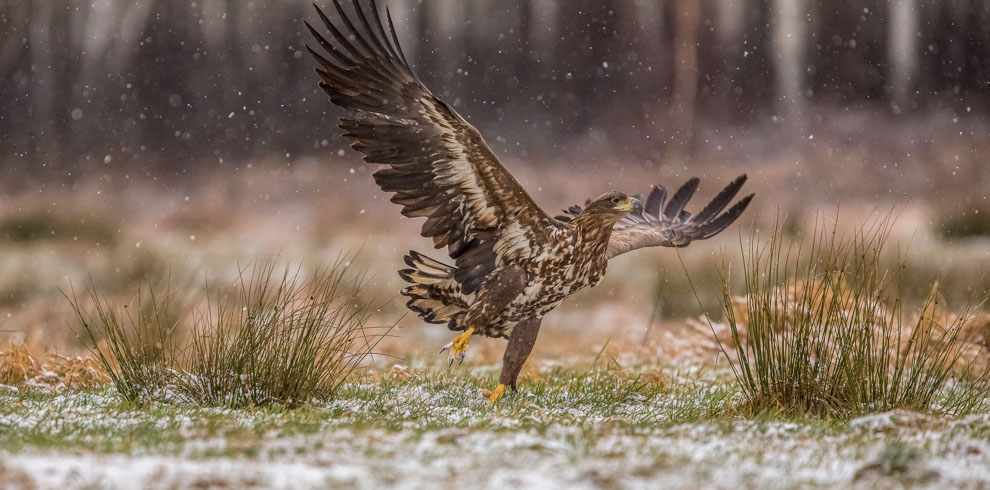 White-tailed Eagle in beautiful snowy day at 4Eagles Raptor Hide in Western Lithuania