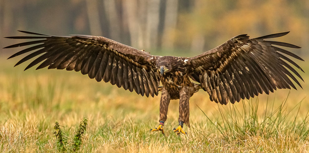 White-tailed Eagle close-up in beautiful autumn day at 4Eagles Raptor Hide in Western Lithuania