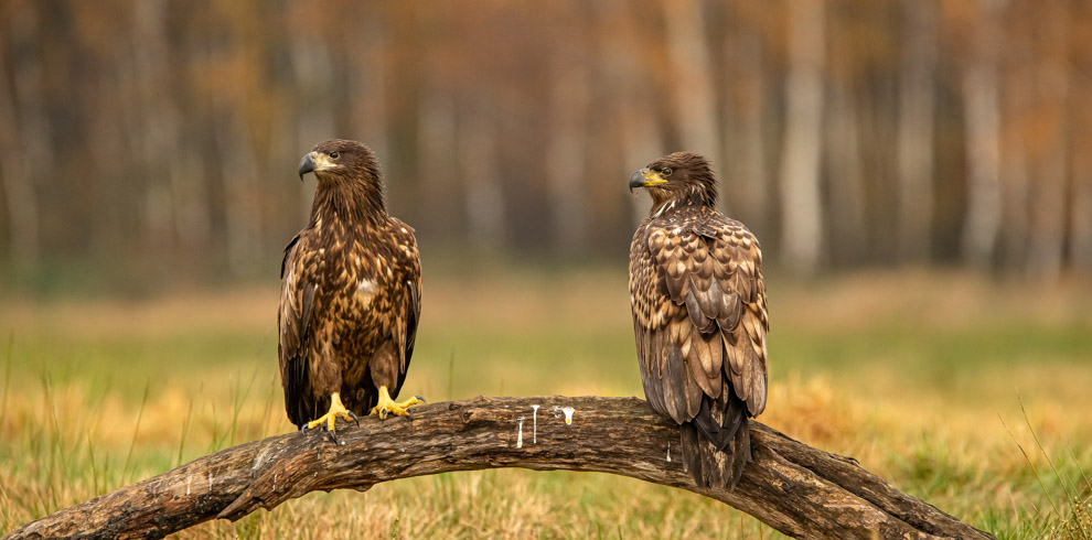 White-tailed Eagle on a perch in a beautiful autumn day at 4Eagles Raptor Hide in Western Lithuania