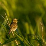 Aquatic Warbler at Nemunas Delta Regional Park Lithuania