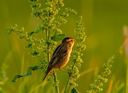 birds of Lithuania - Aquatic Warbler singing on a perch in Nemunas Delta Regional Park Lithuania