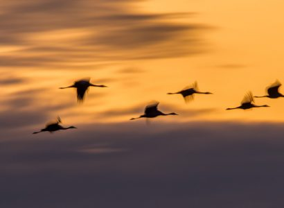 birding Lithuania - Magical flock of Common Cranes in Central Lithuania