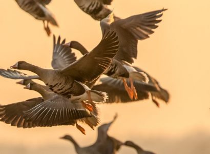 Nemunas Delta - Great White-fronted Geese flock at Nemunas Delta Regional Park Lithuania