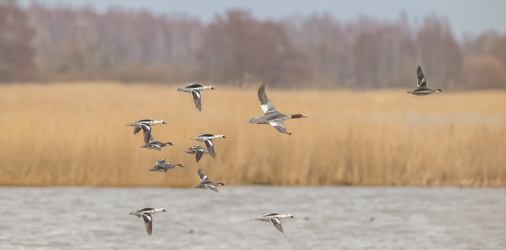 Smew with Common Merganser flying over lagoon lake in Nemunas Delta Lithuania