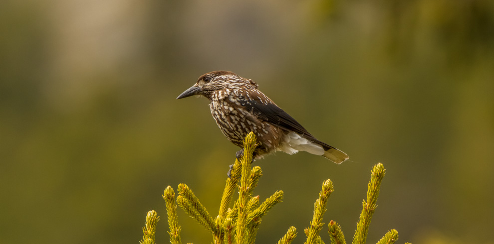 Spotted Nutcracker on a treetop in Birzai Forest in Eastern Lithuania