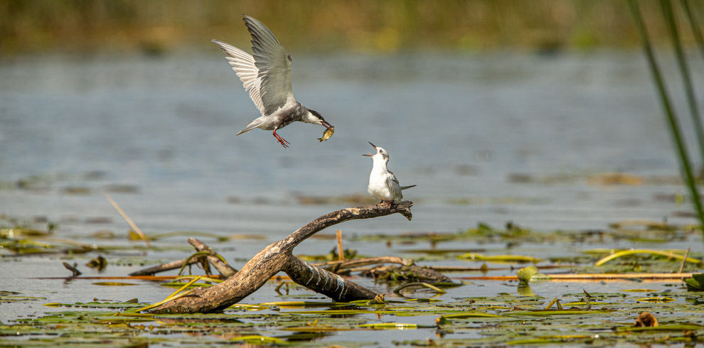 Whiskered Tern feeding chick at Nemunas Delta Regional Park Lithuania