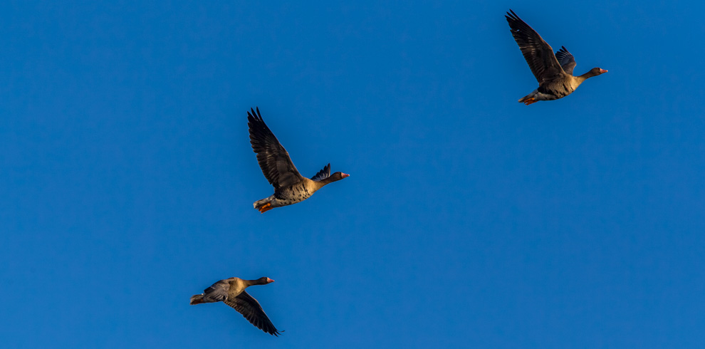 White-fronted Geese flying over Nemunas Delta Regional Park Lithuania