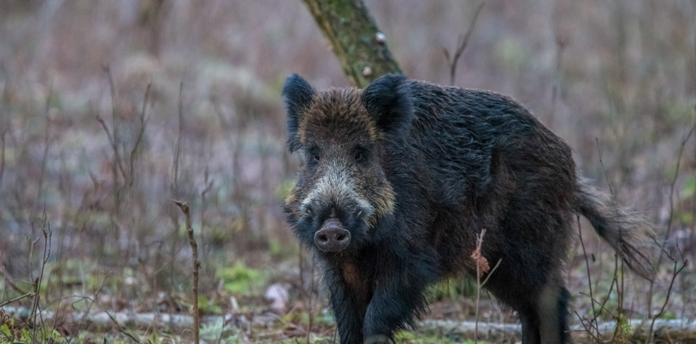 Wild Boar at Curonian Spit National Park Lithuania