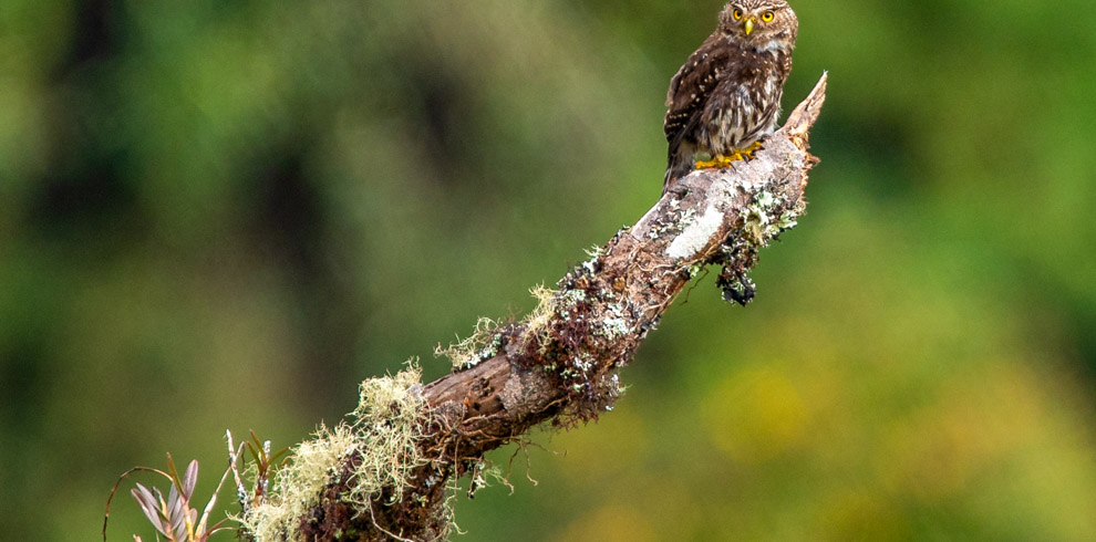 Andean Pygmy Owl in Birding North Peru
