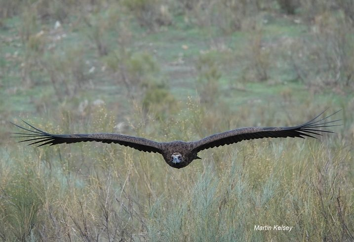 Black Vulture coming close