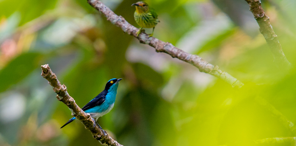 Black-faced Dacnis – Green-Tours-Peru